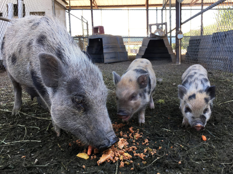 Feeding compost to the pigs