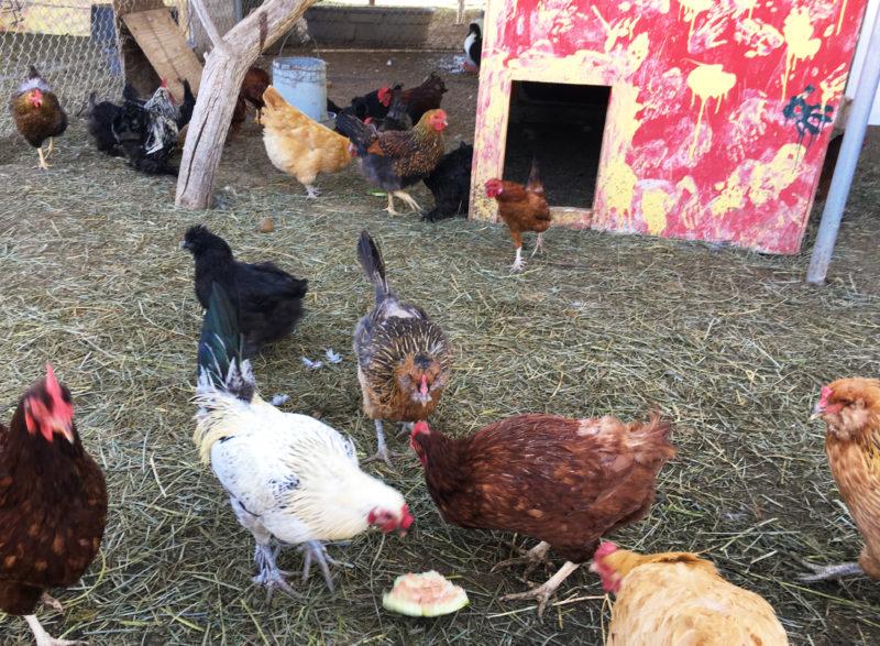 Ranch Chickens